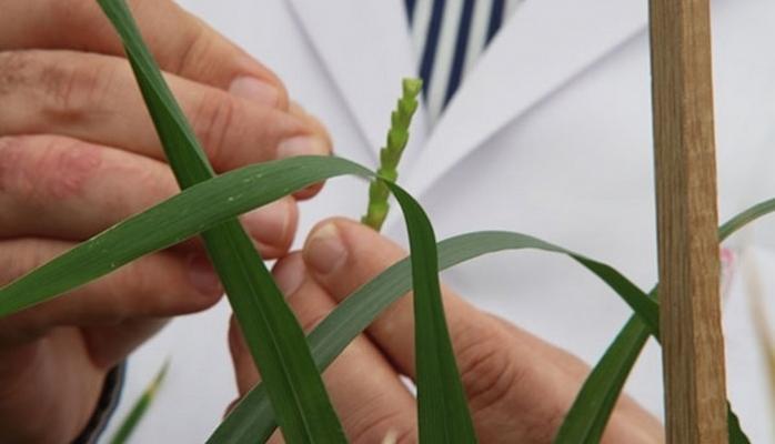 Buğday İçin Üniversitelerle İşbirliğinde