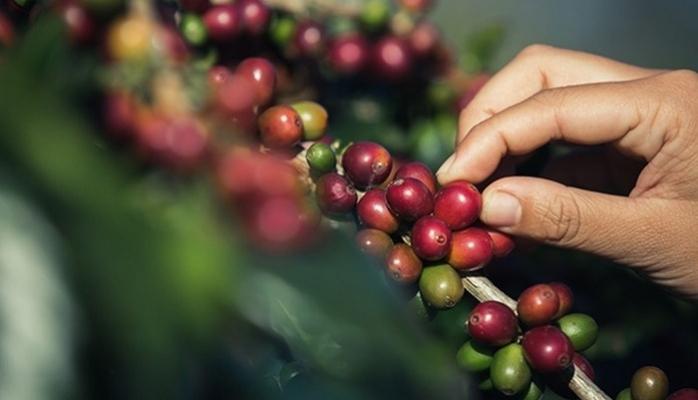 Yılda 100 bin Tona Yakın Kahve Tüketiyoruz